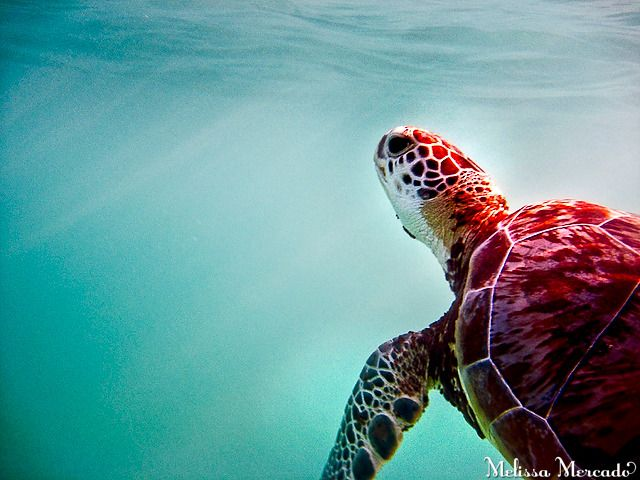 a must-do in Playa del Carmen, Mexico | swim with the turtles in Akumal Bay!
