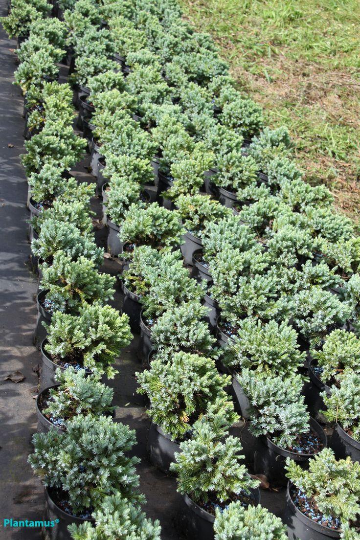 Enebro azul. http://www.plantamus.es/ARBOLES-ARBUSTOS/comprar-plantas-enanas