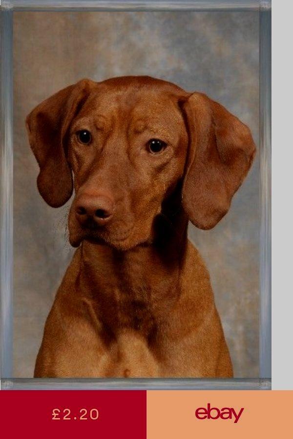 3b967a8316 Pin by Katerina Karsant on I want a Dog   Vizsla, Hungarian vizsla, Dogs