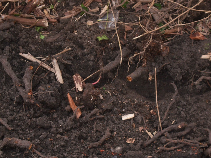 how to get rid of rhizome weeds