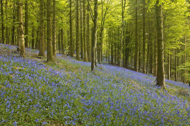 Bluebell Floor of Delcombe Wood -             Fototapeter & Tapeter -           Photowall