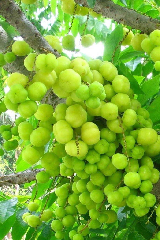 Pin By Doreraju Sambasivaiah On Garden Pathways Fruit Plants Fruit Garden Growing Tree