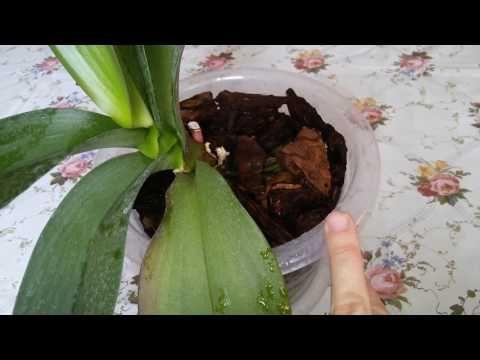 ✈Супер способ. Как быстро восстановить орхидею фаленопсис. Что делать с воздушными корнями? - YouTube
