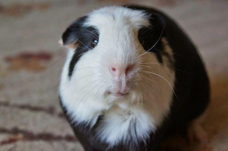 The Guinea Pig Daily: Panda