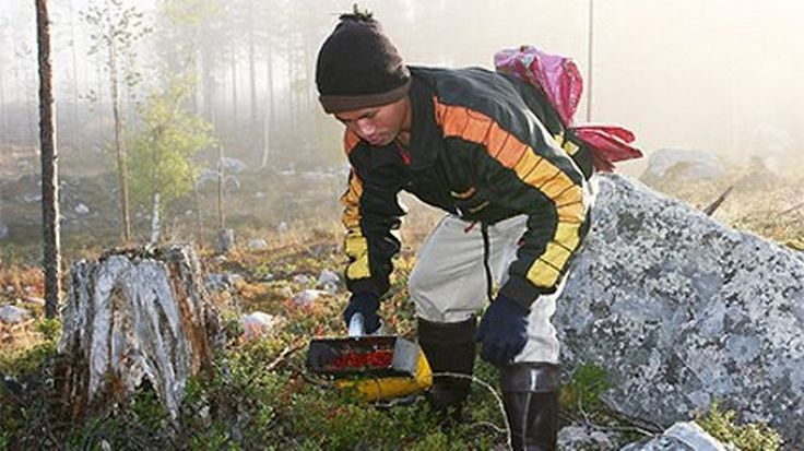 Aasialainen marjanpoimija tulee Aasiasta Suomeen poimimaan marjoja.