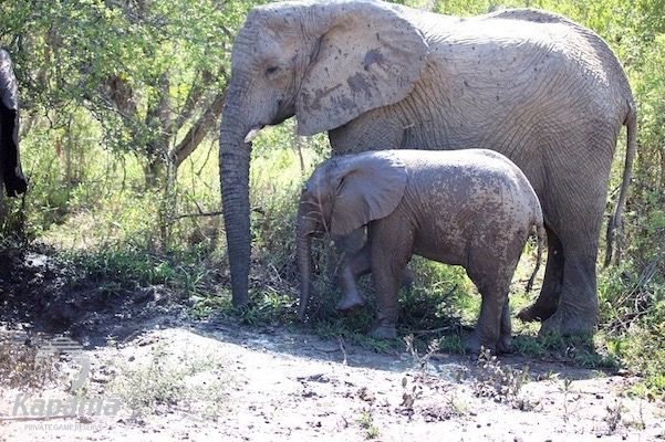 Elephant calf with mother