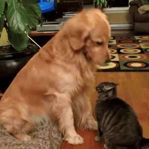 """This is a gif of a golden retriever petting a cat. and it's adorable. so you should click on it."""