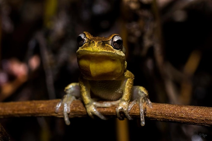 Whistling Tree Frog