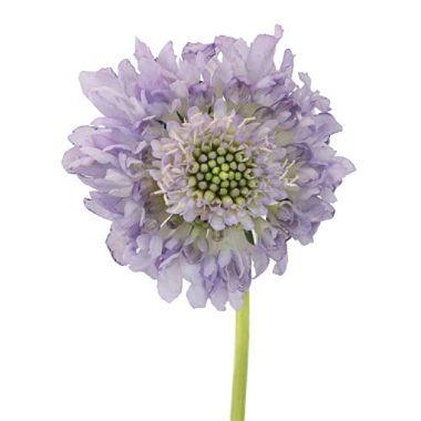 Scabiosa Scoop, Lavender (50 stems) - Sam's Club