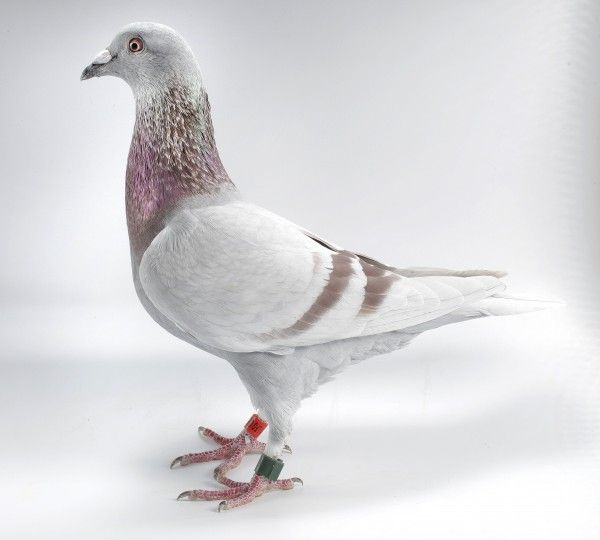 Dog Training Pigeons For Sale In Wisconsin