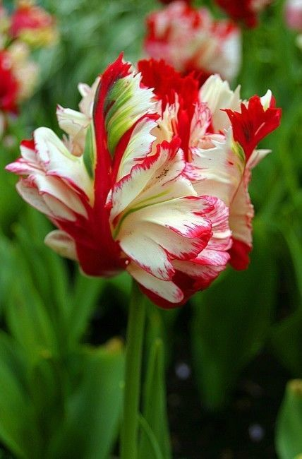 Parrot tulips are my favorites. Sadly, tulips don't do well in my area. We don't get cold enough. More