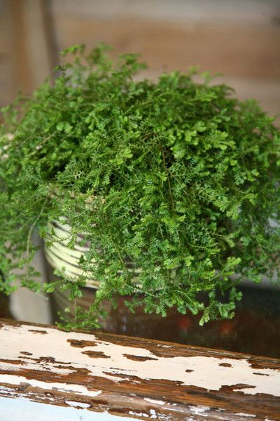 25 best images about non toxic house plants cat safe on for Non toxic ferns