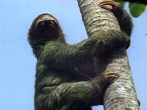 Take your time.  No, really take your time.  It can take a slow-moving sloth up to a month to digest one meal!