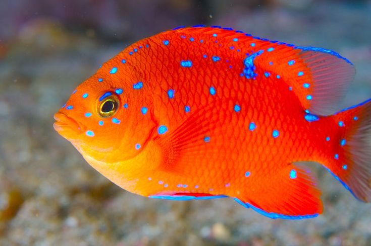 Juvenile Garibaldi  do this on silk, eye popping blue floss, stuff so they can free stand, make a giggle of garibaldis! YES