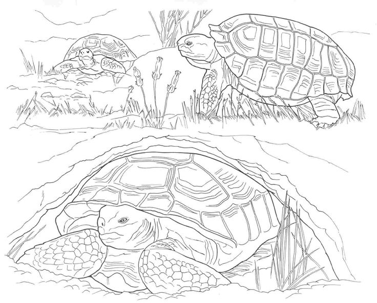 Desert Animal Trivia Coloring Coloring Pages