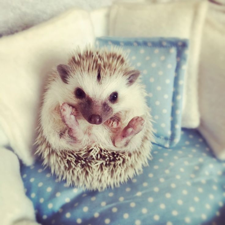 There are more than 10 different species of hedgehog out there, and how long do hedgehogs live is dependent on that species. The smaller ones usually have a lifespan of around...