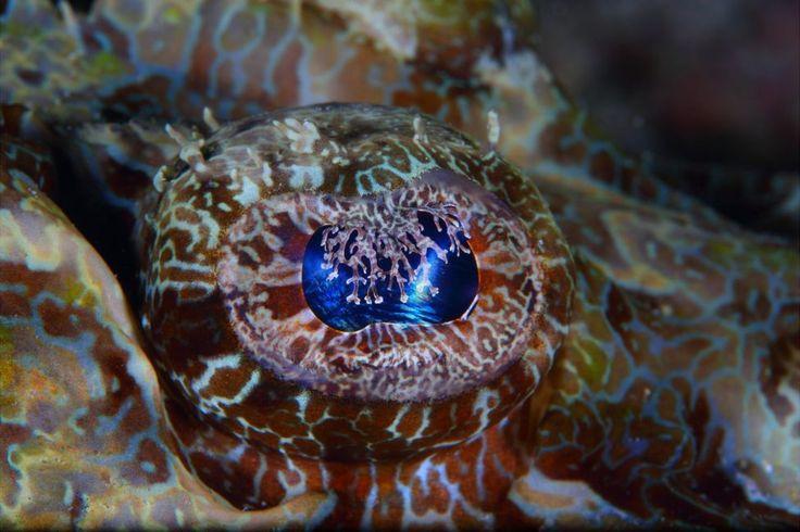 Eye of a crocodilefish seen off Mabul Island, Sabah, Malaysia