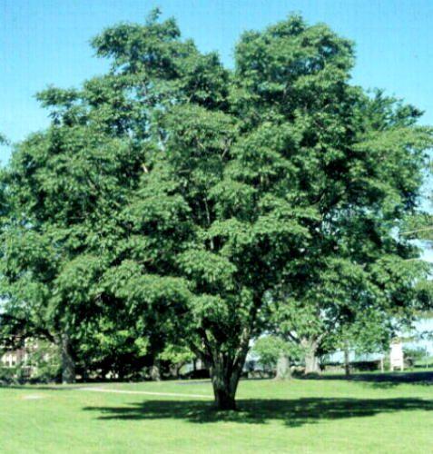 amurin korkkipuu phellodendron amurense