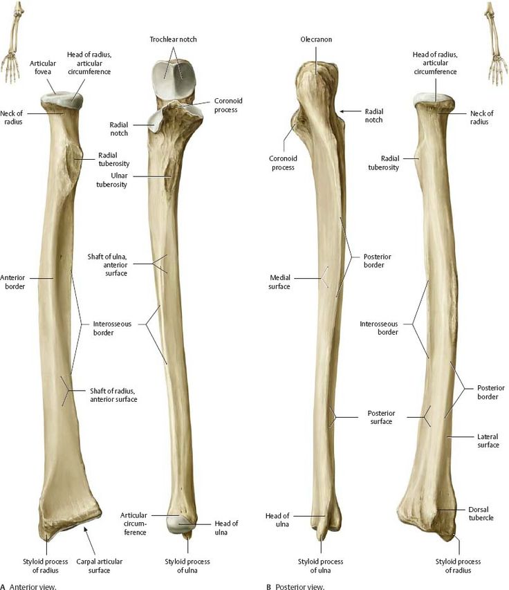 Elbow & Forearm - Atlas of Anatomy | Anatomy bones, Human ...