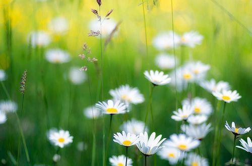 prettylittleflower:  Bellis perennis by Pham Duy Tuan on Flickr.