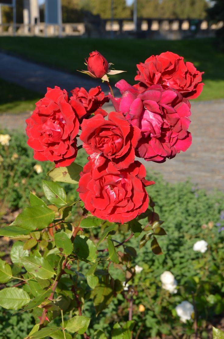 V současné době obsahuje růžový sad celkem 213 odrůd růží v počtu více jak 24 tisíc keřů.