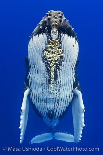 balaenoptera, humpback, barnacle, parasite