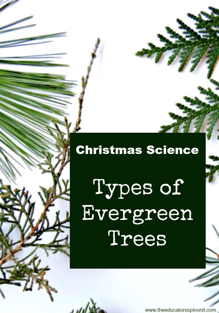 Christmas Science exploring Types of Evergreen Trees