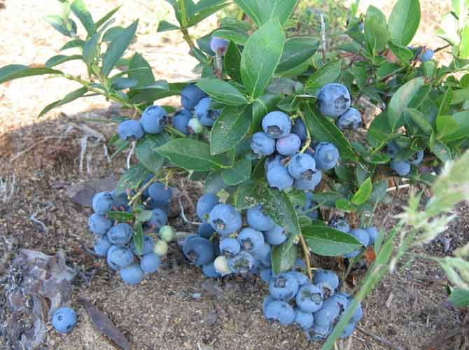 Голубика садовая: выращивание и уход.