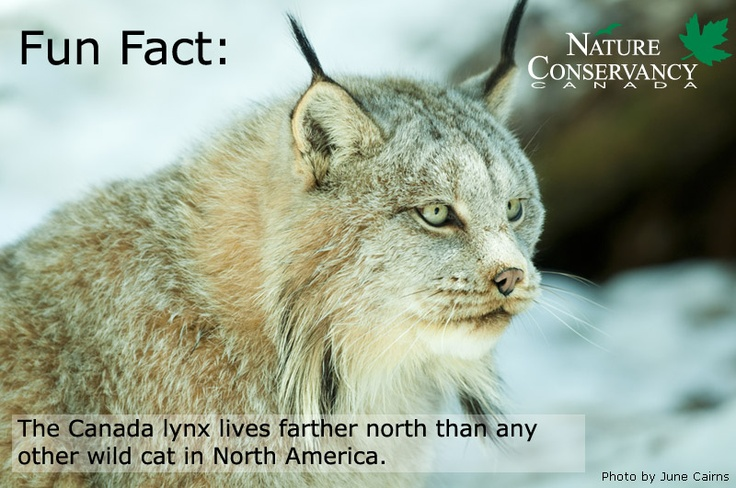 Give a gift that helps to protect Canada lynx habitat! http://ow.ly/f498w