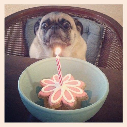 Maaaahahahahahahaaa: Happy Birthday, Funny Dogs, Sweet Brown, The Faces, Funny Stuff, Pugs, Happybirthday, Animal, Birthday Cakes