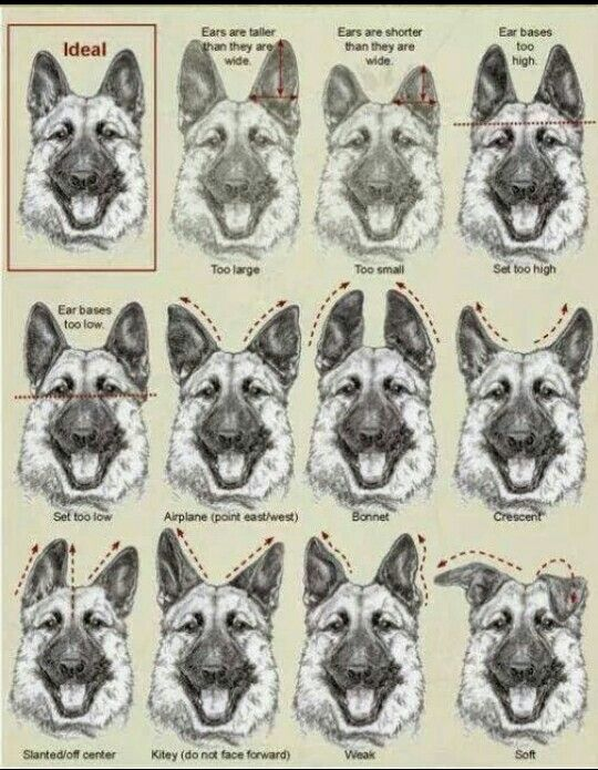 these are incorrect examples of the german shepherd ear shapes with rh pinterest com Anatomy Dog Breed Dog Measurements Diagram