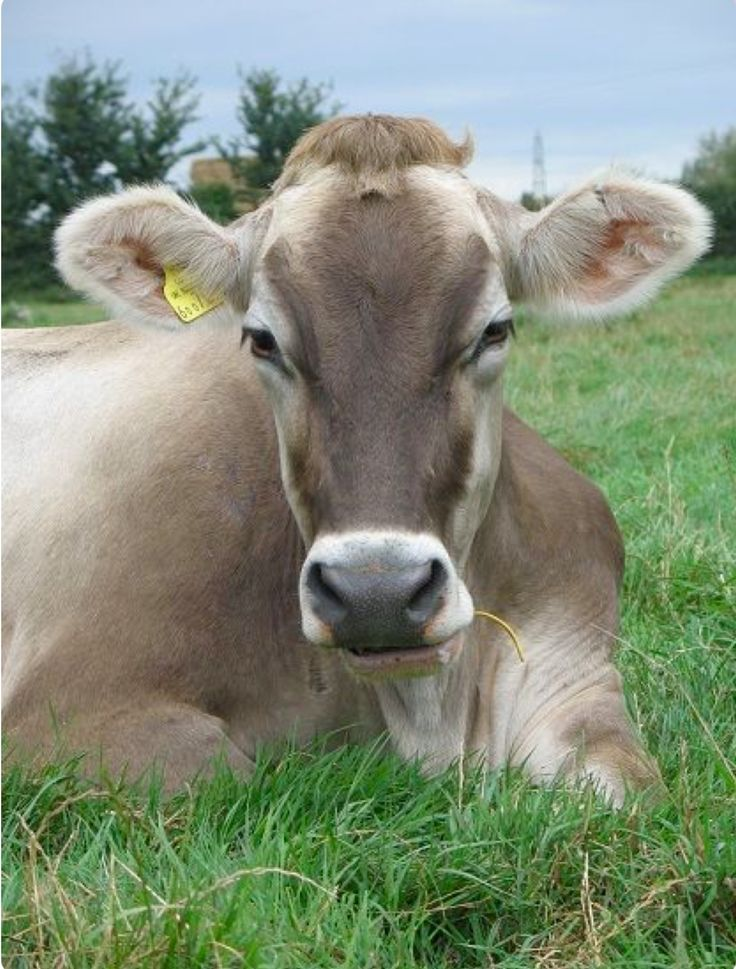 Pretty Brown Swiss dairy cow resting in the pasture