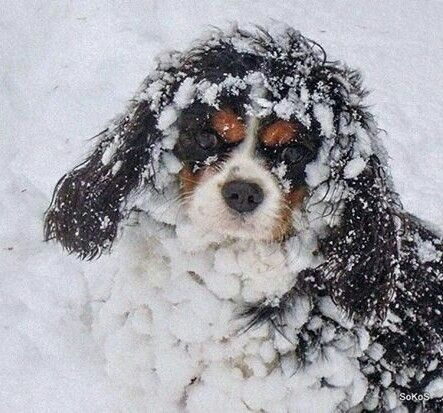 Cavalier King Charles Spaniel: any one with a Cavy knows the meaning of a furry snow ball, lol They love their snow, ❤️
