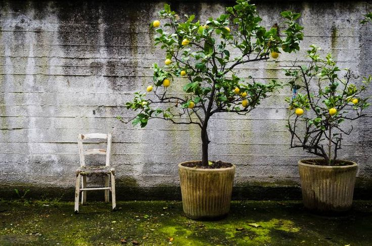 two lemon trees and an old white chair in front of a wall