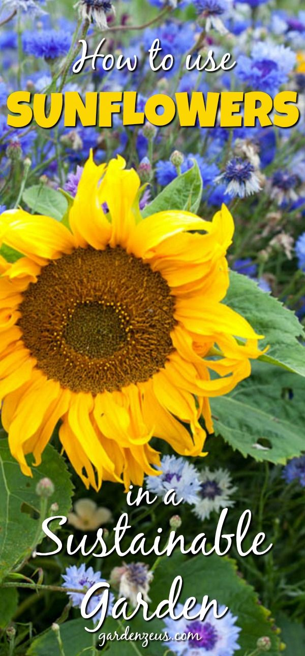 Best 25+ Sunflower Garden Ideas On Pinterest