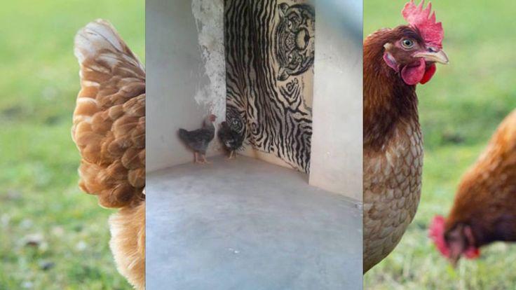Funniest Hens