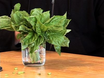How to Store Basil - Clean/dry basil wrapped in lightly dampened paper towel.