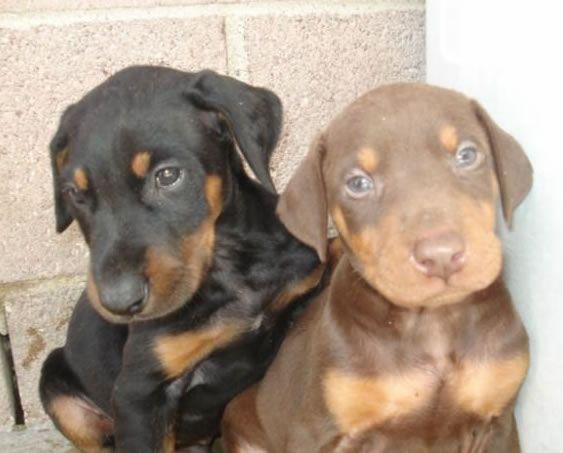 Dobermanlar  genellikle mavi-gri, siyah-kahverengi gibi renklerdedirler. Nadiren beyaz lekelerde olabilir. Doberman cinsi köpekler dünyanın 10 en iyi bekçi köpekleri sıralamasında en başlarda gelmektedir. Ayrıca dünyanın en akıllı 5 köpeğinden birisi olarak ta kabul edilmektedir.