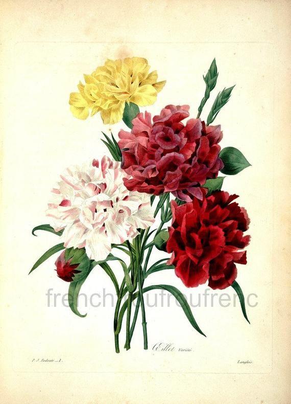 Pin By Jill Adams On Decoupage Botanical Illustration Carnations Red Carnation