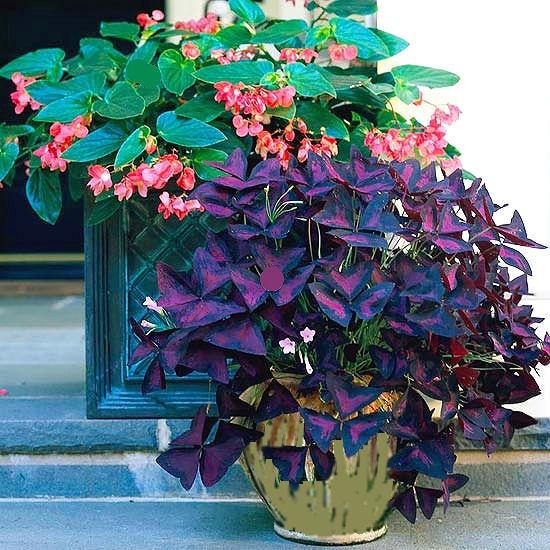 Shade: dragonwing begonias & purple oxalis