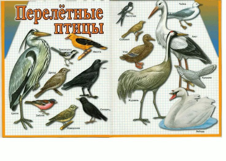 Настроения, картинки перелетные птицы для детского сада с названиями