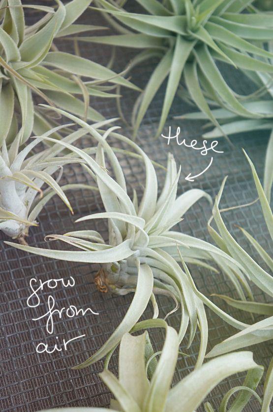 filles de l 39 air plantes air fille et belle plante. Black Bedroom Furniture Sets. Home Design Ideas