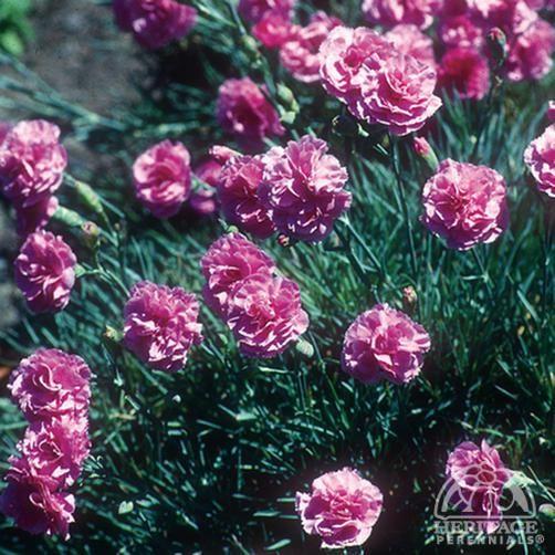 Rose Carnation  IP112 from www.seedman.com