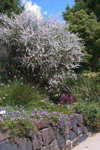 white tea tree plants - Google Search