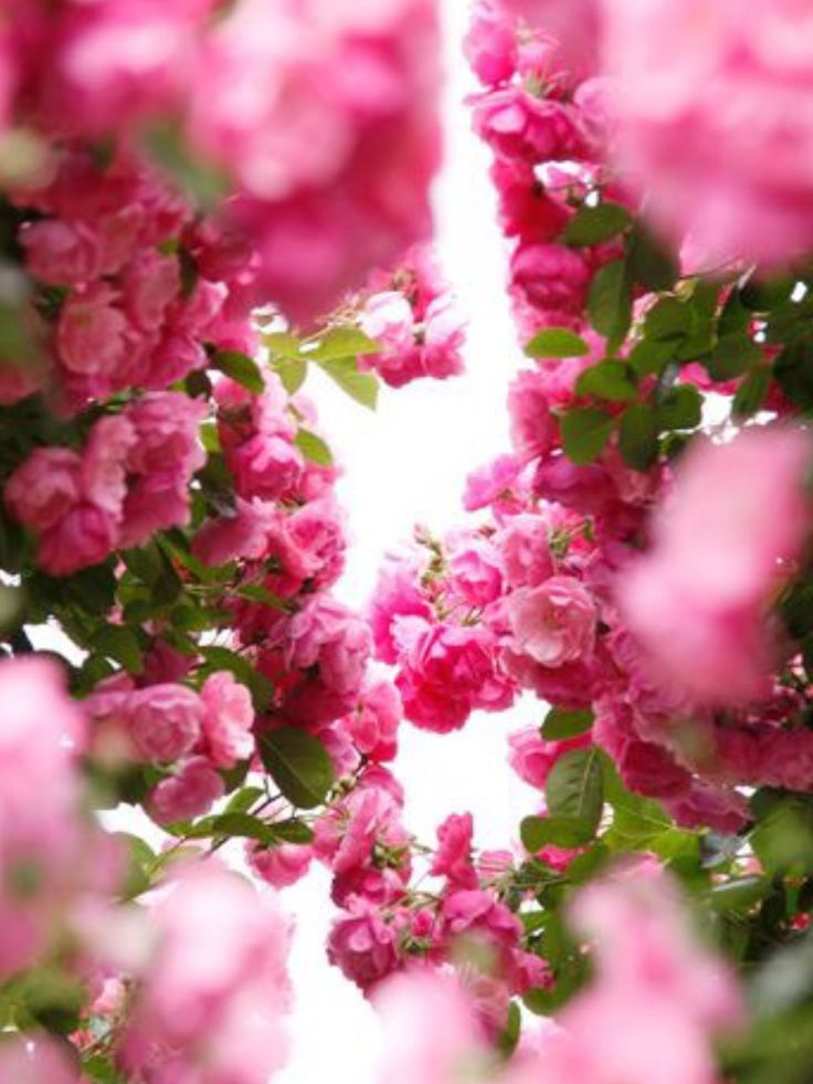 Pink Rose Garden Wallpaper 159 best wallpapers images on pinterest | wallpapers, flowers and