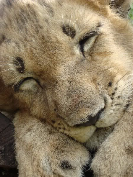Lion, sweet dreams!!