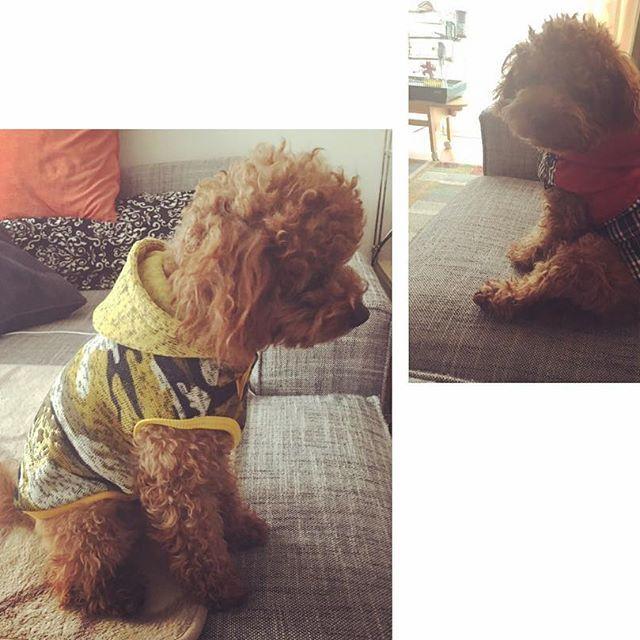 同じトイプーを飼っているネイルスクールの先生に教えてもらってSALEでGET🛍 かわいい❣️あったかそう😊 2月後半からのトルコも、これで防寒バッチリ👍🏼 #愛犬#toypoodle#BONCUK#犬服#DogWear#防寒#冬服#黄色迷彩#赤パタゴニアベスト風