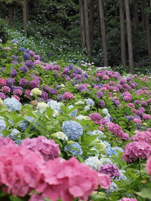 Hydrangeas all over the place