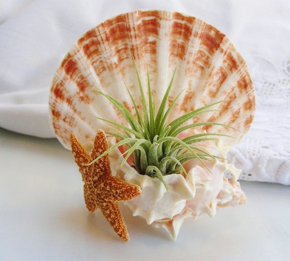 Sea Shell Planter with Multicut Pink Murex Shell and Irish Flat with Ionantha Air Plant by BeachCottageBoutique