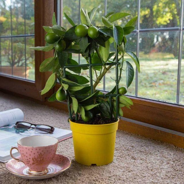 die besten 25 zitrusbaum ideen auf pinterest zitronenbaum zitrus b ume und gr ne. Black Bedroom Furniture Sets. Home Design Ideas